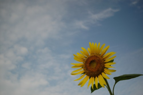 070926sunflower01