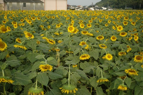 070926sunflower03