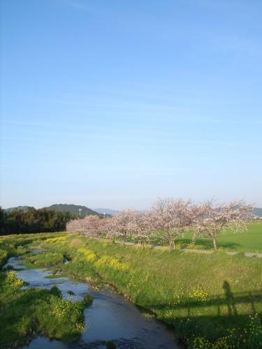 080403sakura_take2