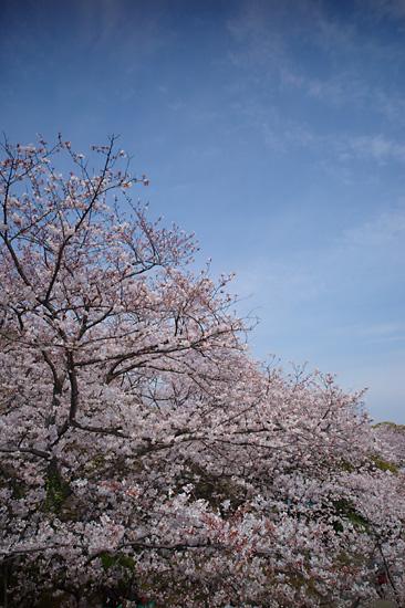 080404sakura_photo01