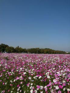 051017_kosumosu
